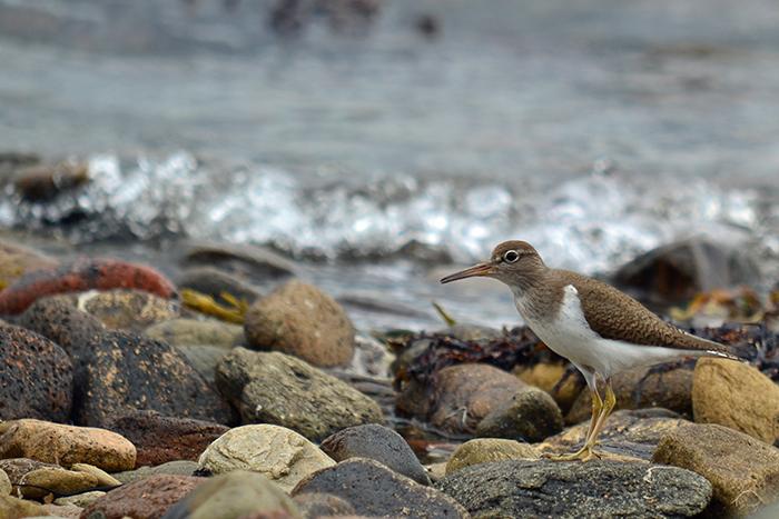 Sandpiper on the shore at Loch Fyne.